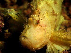 Leaf fish. alona house reef Panglao, Bohol