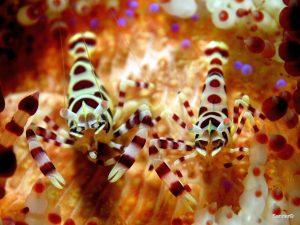 Coleman shrimp. alona house reef Panglao, Bohol