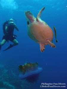 Philippine Fun Divers - Divers Alona Beach Panglao Bohol turtle and diver