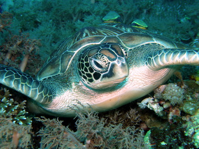 Sea Turtle Bohol