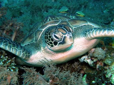 Sea Turtle Bohol