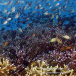 Philippine Fun Divers Alona Beach Panglao Bohol Reef scene 4