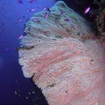 Philippine Fun Divers Alona Beach Panglao Bohol Reef scene seafan on wall
