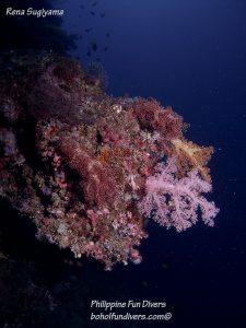 Philippine Fun Divers Alona Beach Panglao Bohol Reef Gorgonian fan